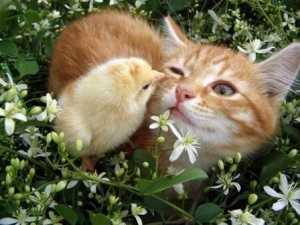 cat_and_chicken4
